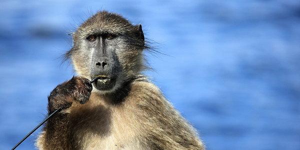 Baboon self trust
