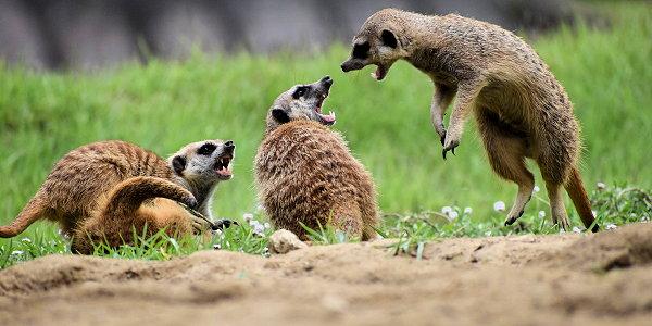 meerkats-conflict